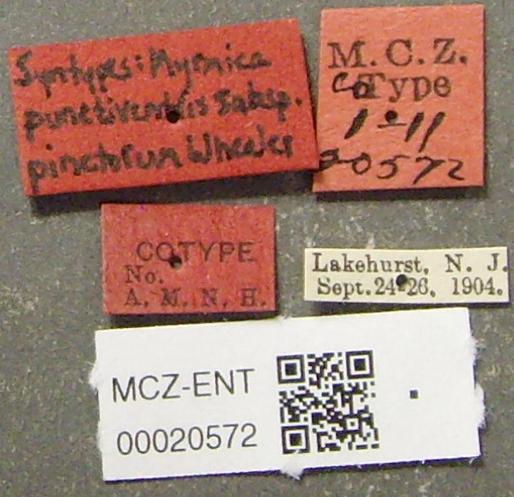 Media of type image, MCZ:Ent:20572 Identified as Myrmica pinetorum type status Syntype of Myrmica punctiventris pinetorum. . Aspect: labels