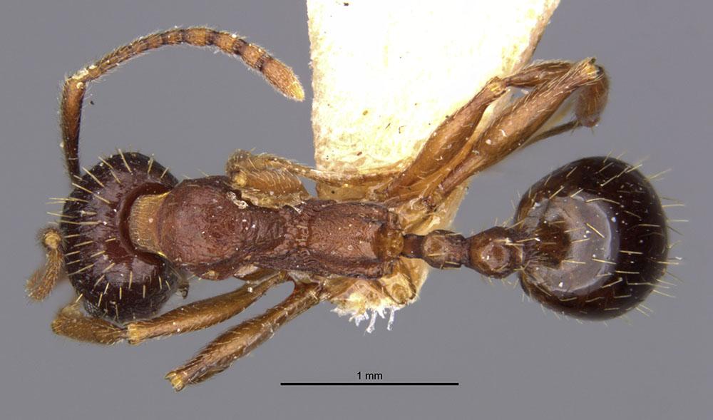 Image of Aphaenogaster strioloides