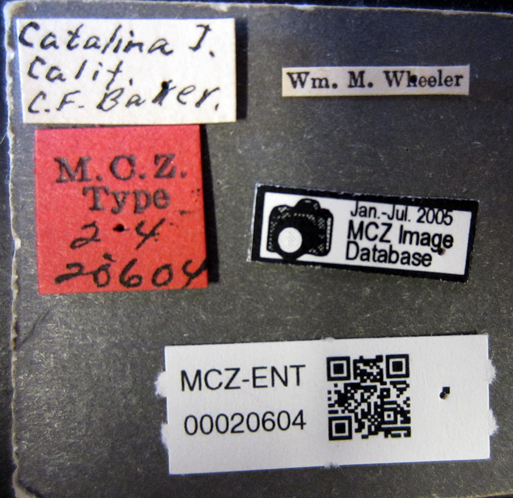 Aphaenogaster patruelis image
