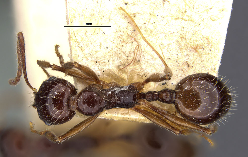 Image of Aphaenogaster smythiesii