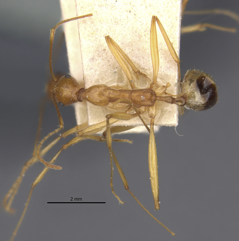 Image of Aphaenogaster phillipsi