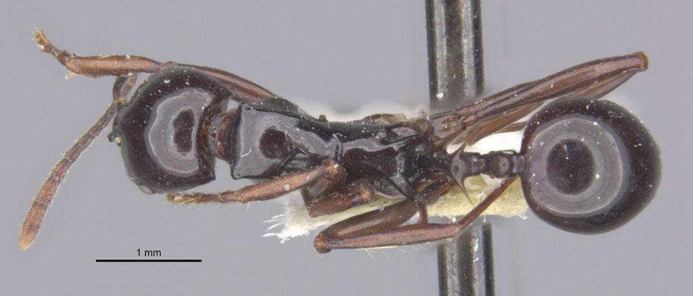 Image of Ancyridris polyrhachioides