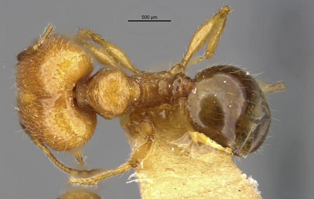 Image of Pheidole funkikoensis