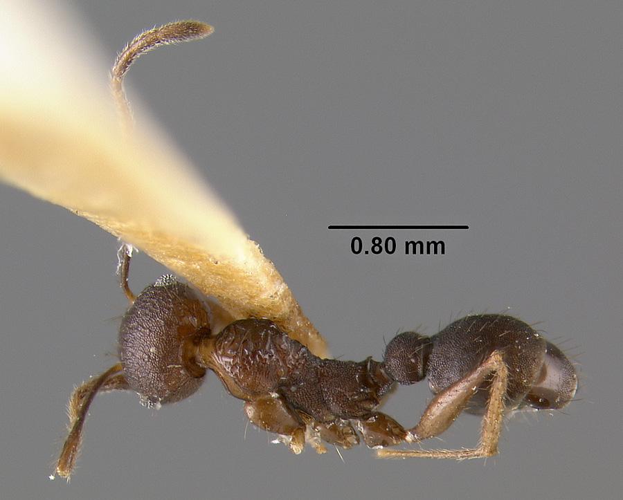 Image of Pheidole spathifera