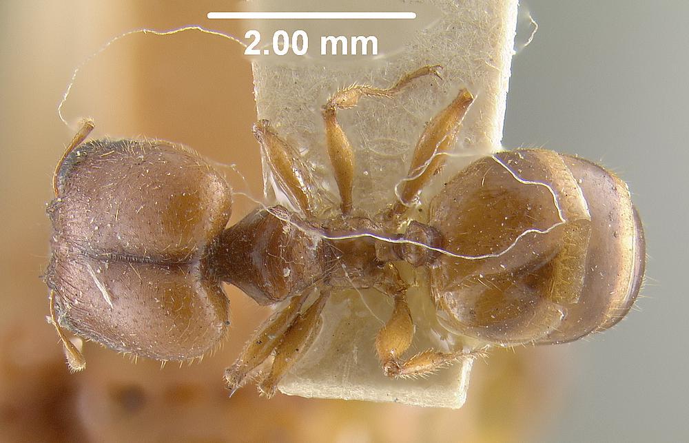 Image of Pheidole deserticola