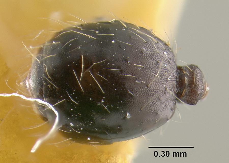 Image of Pheidole susannae
