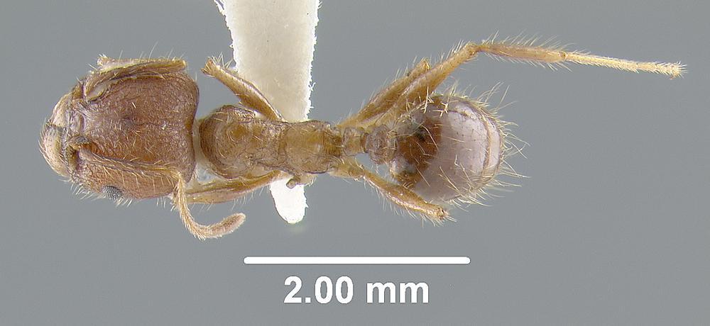 Image of Pheidole confoedusta