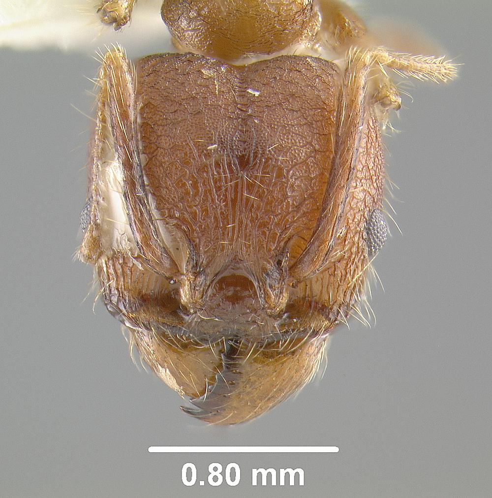 Media of type image, MCZ:Ent:20684 Identified as Pheidole confoedusta type status Syntype of Pheidole confoedusta  Lectotype of Pheidole confoedusta. . Aspect: head frontal view