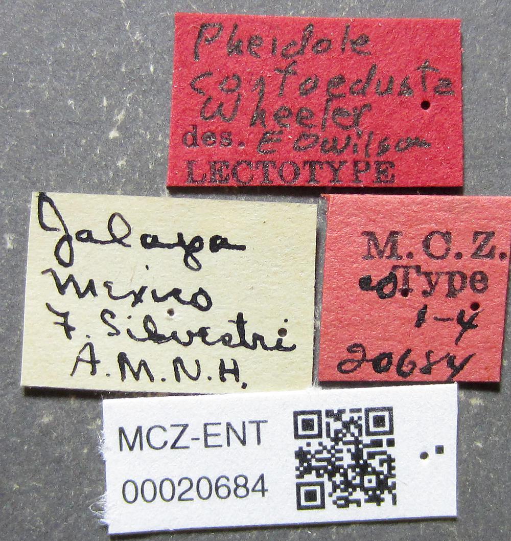 Media of type image, MCZ:Ent:20684 Identified as Pheidole confoedusta type status Syntype of Pheidole confoedusta| Lectotype of Pheidole confoedusta. . Aspect: labels