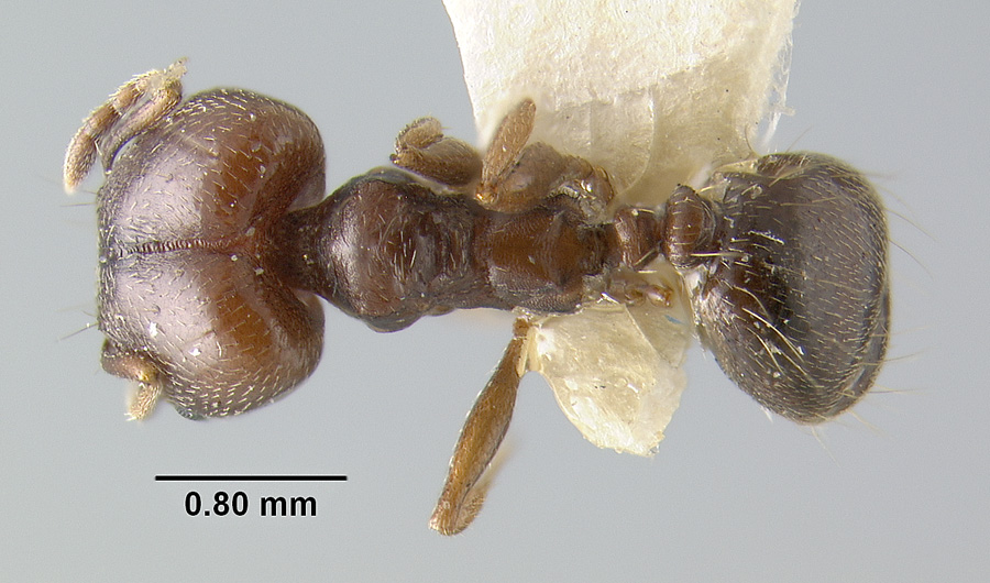 Image of Pheidole vallicola