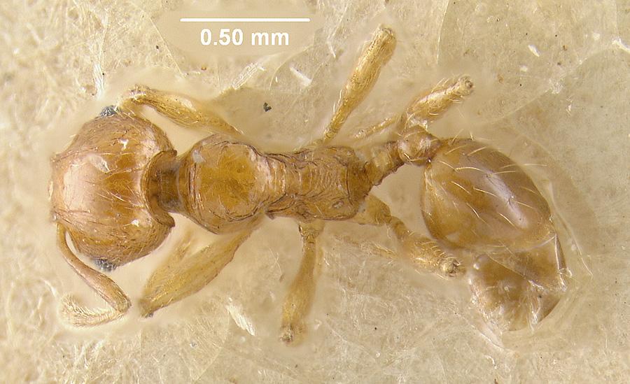 Image of Pheidole silvestrii