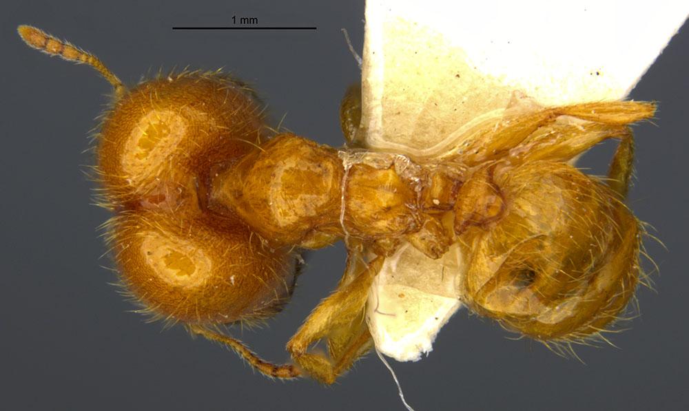 Image of Pheidole spadonia