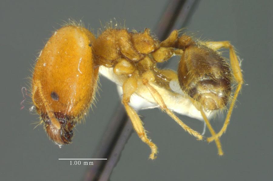 Image of Pheidole virago