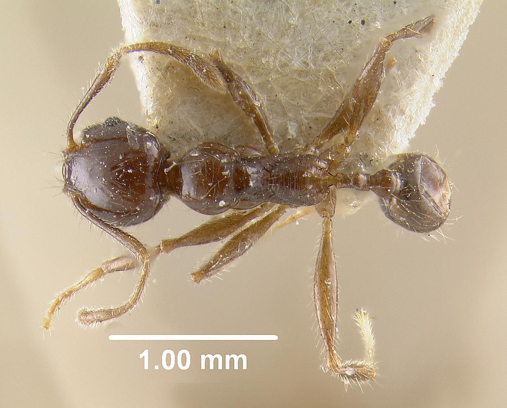 Image of Pheidole diana