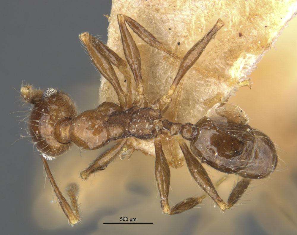 Image of Pheidole pubiventris