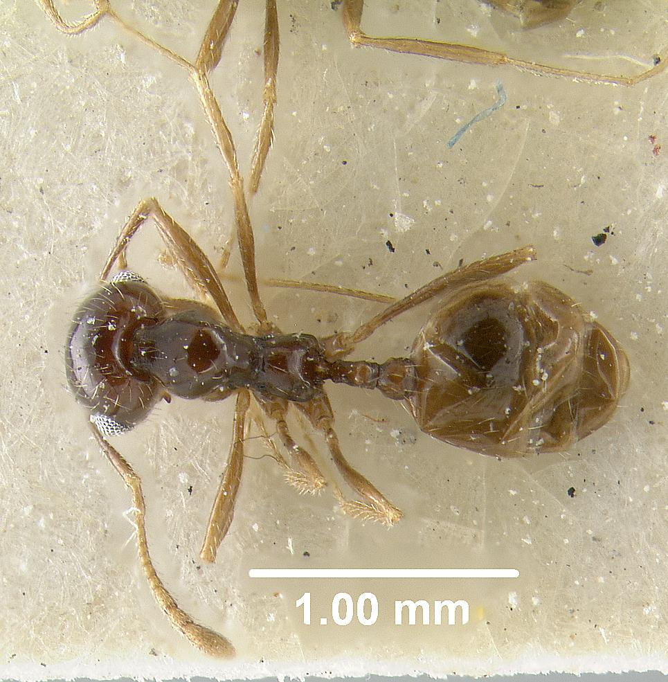 Image of Pheidole barbata