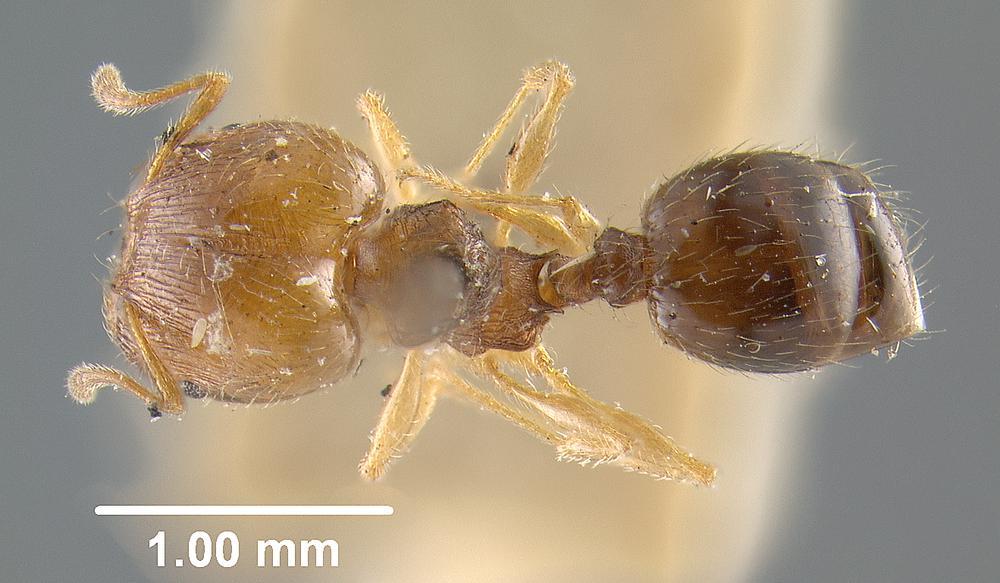 Image of Pheidole davisi