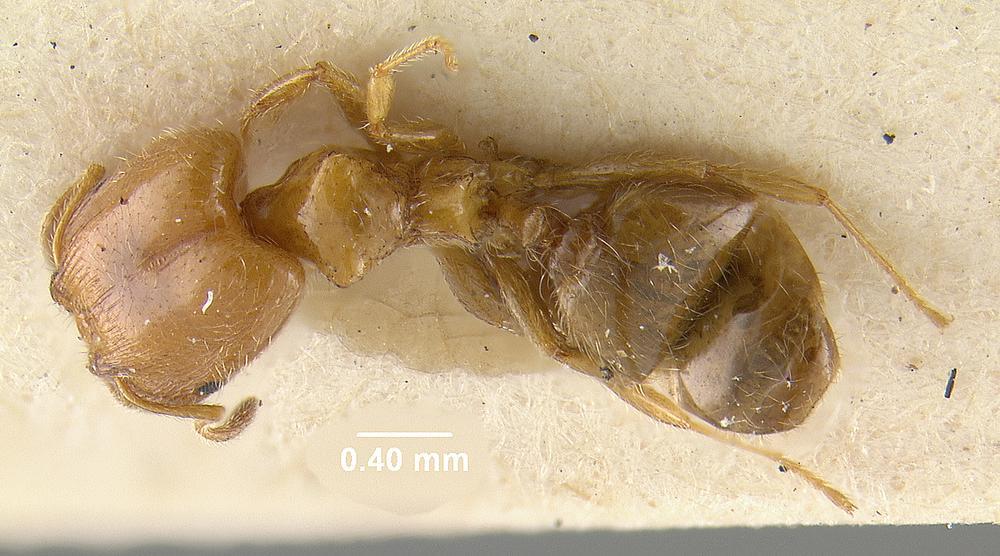 Image of Pheidole humeralis