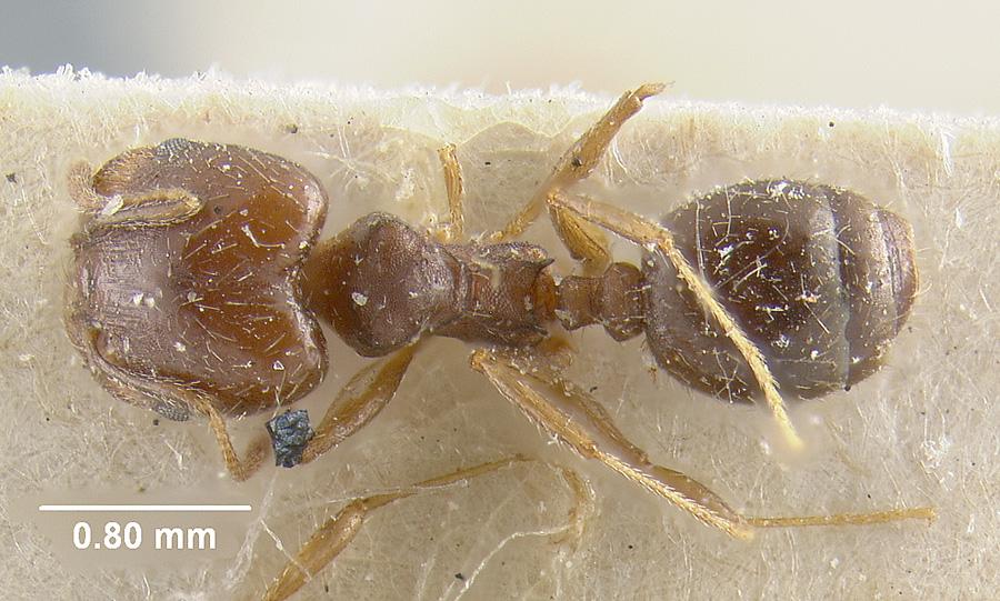 Image of Pheidole sciophila