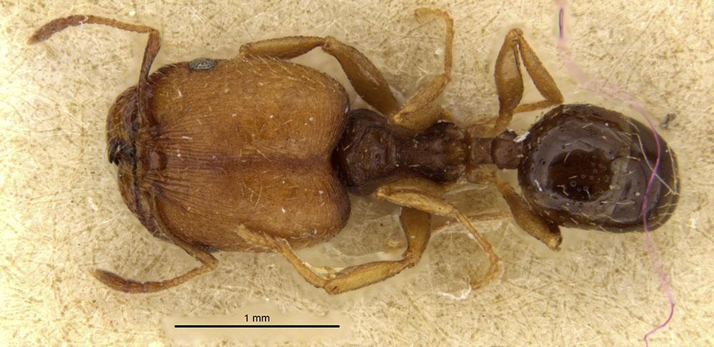 Image of Pheidole soritis