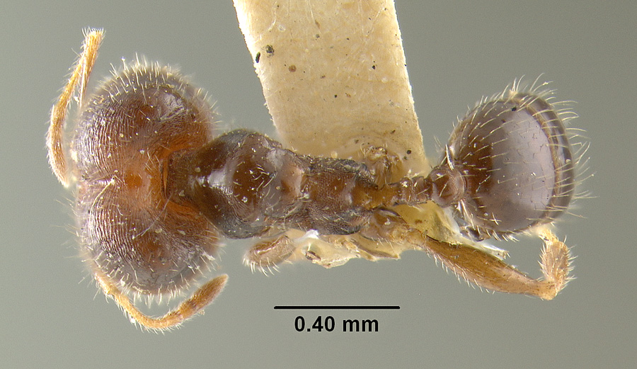 Image of Pheidole tepicana