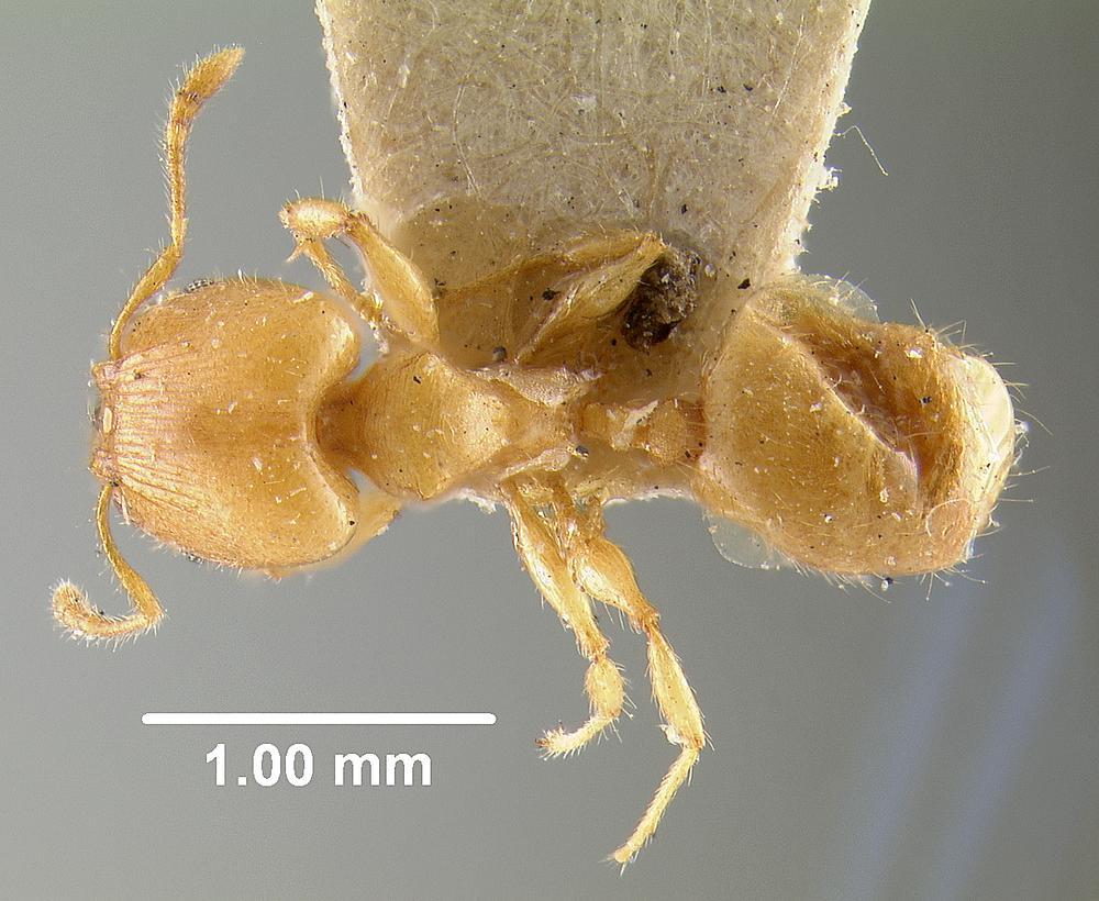 Image of Pheidole arhuaca