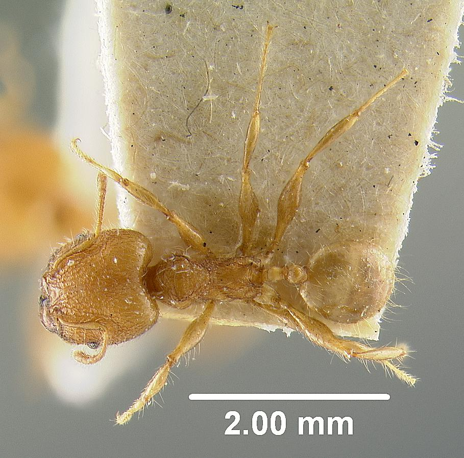 Image of Pheidole bambusarum