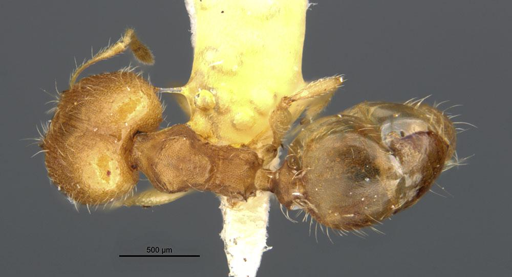 Image of Pheidole bilimeki