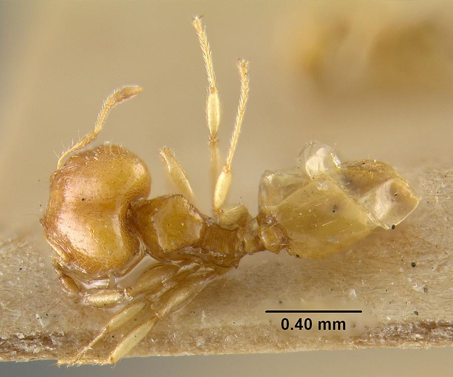 Image of Pheidole terresi