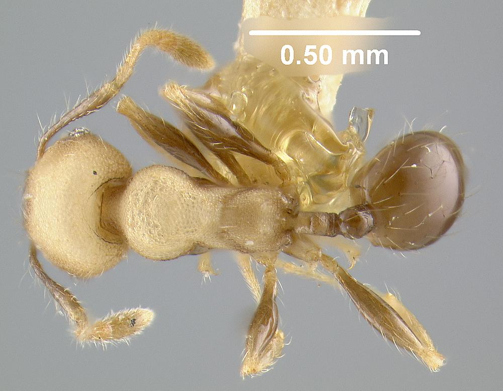Image of Pheidole darlingtoni