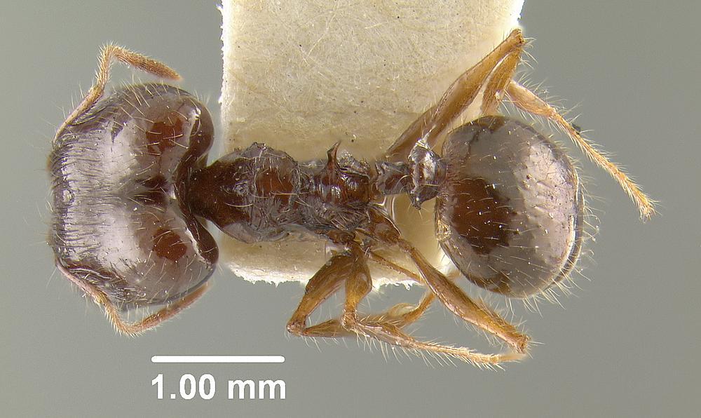 Image of Pheidole colaensis