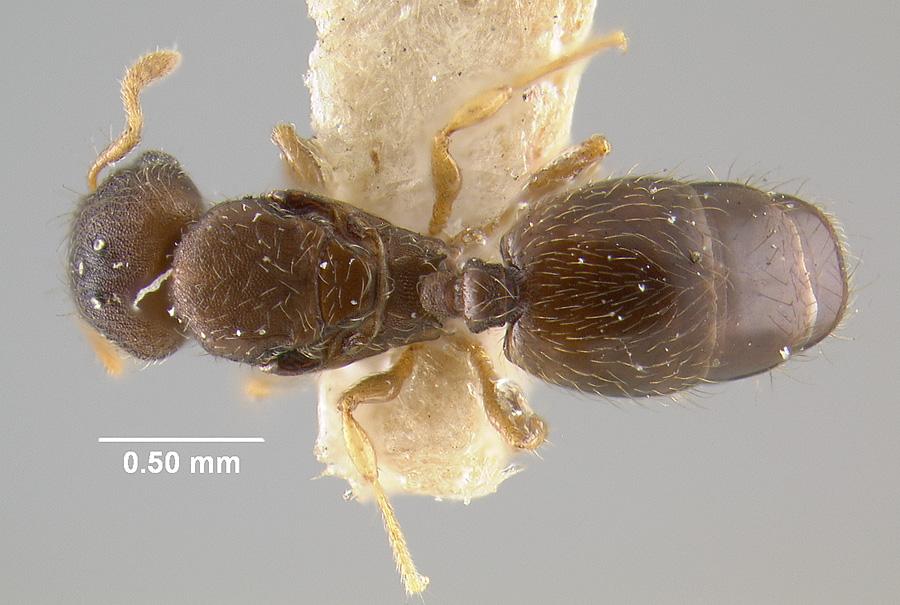 Image of Pheidole perpusilla