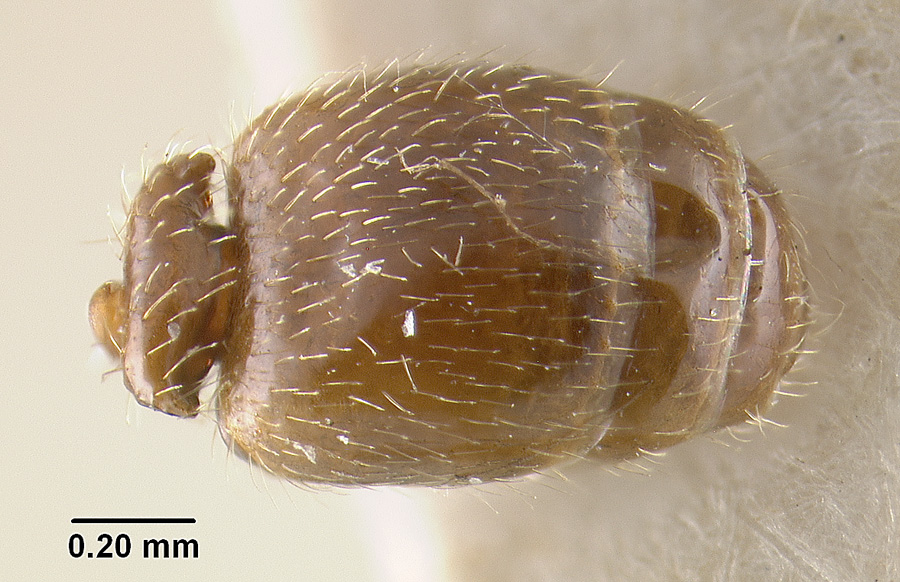 Image of Pheidole elecebra