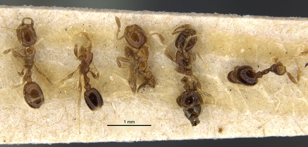 Image of Solenopsis stricta