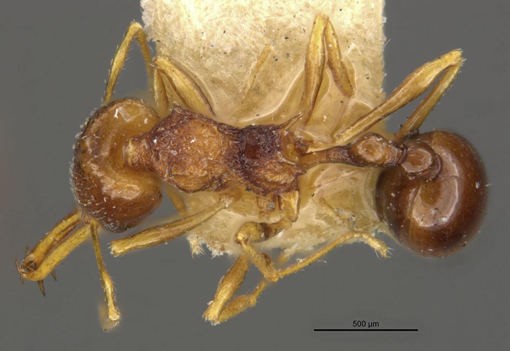 Image of Acanthognathus lentus