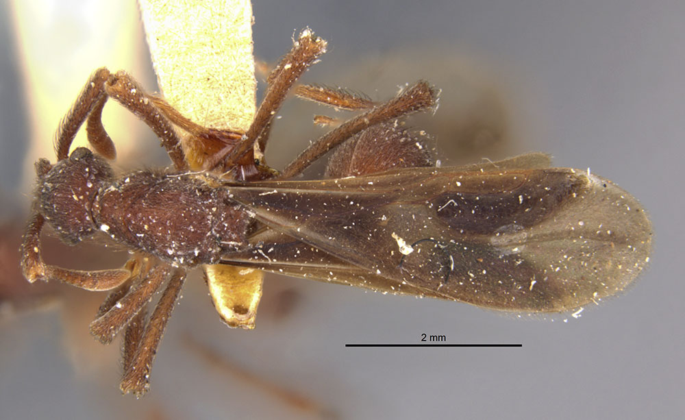 Image of Apterostigma robustum