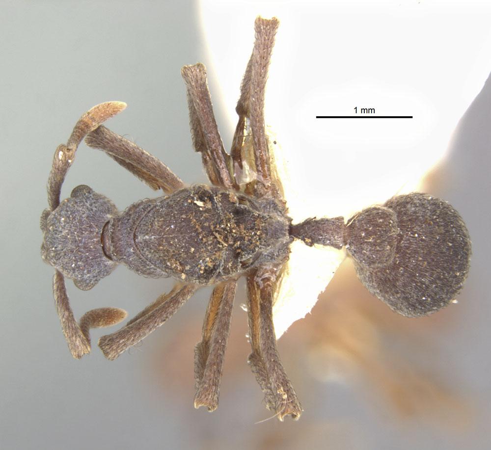 Image of Apterostigma calverti