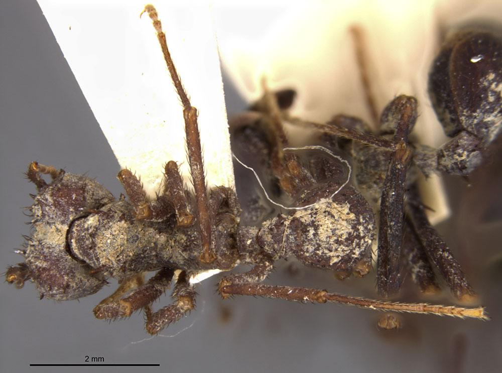 Image of Acromyrmex niger