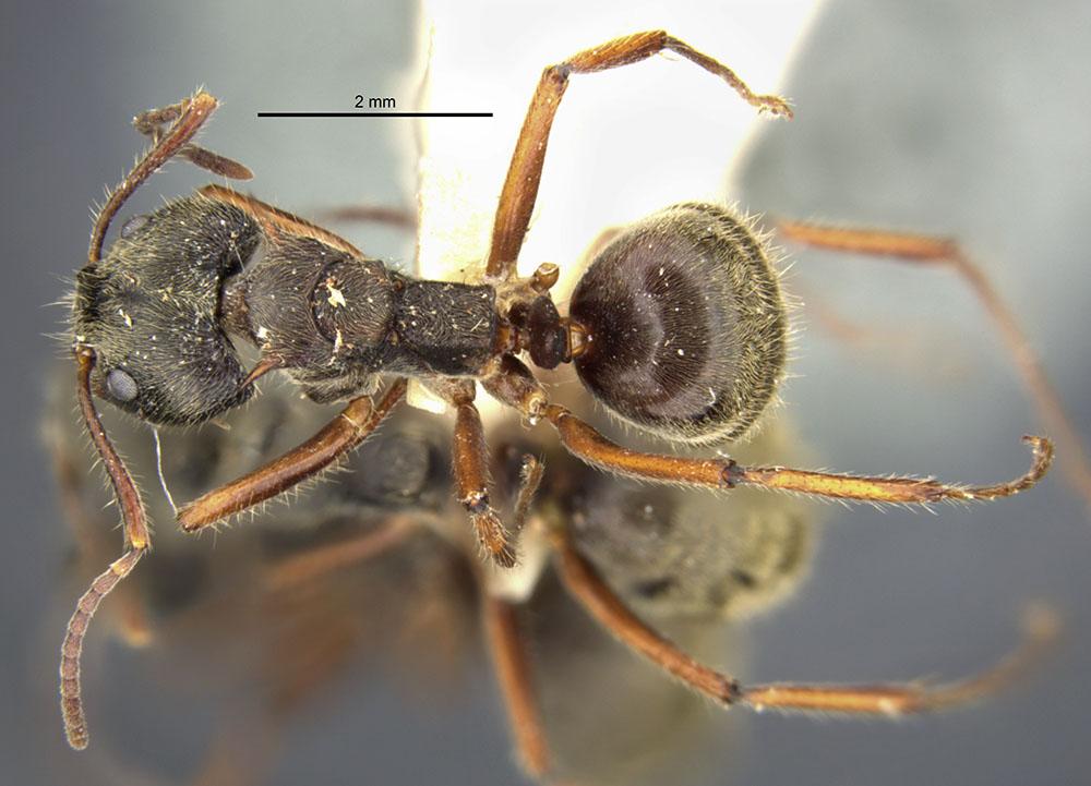 Image of Dolichoderus validus