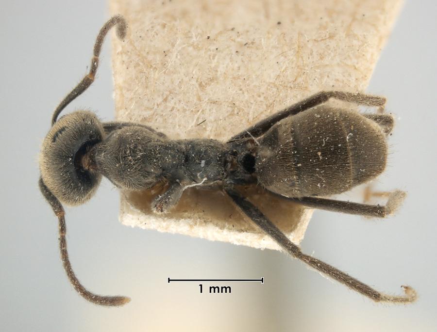 Image of Anonychomyrma gilberti