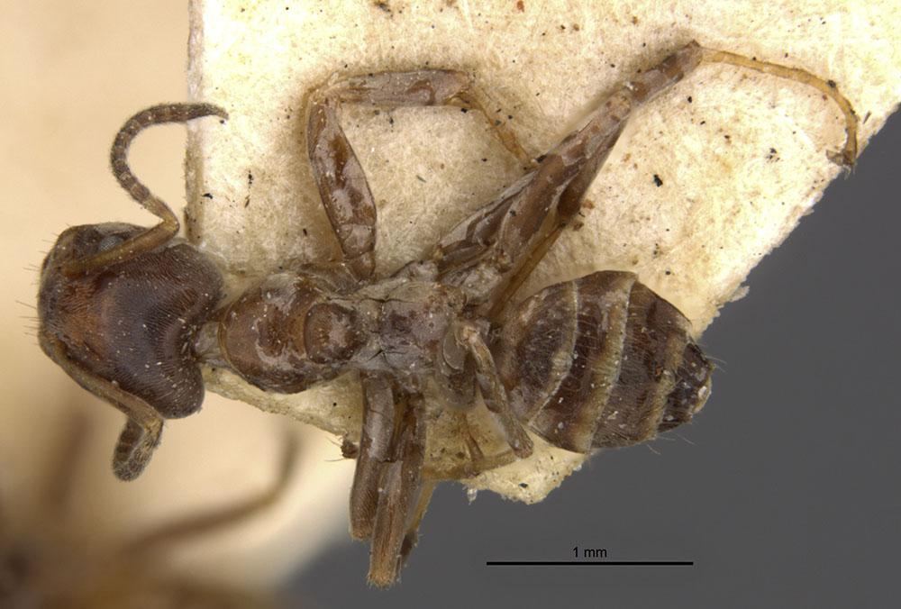 Image of Azteca emeryi
