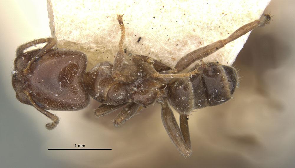 Image of Azteca goeldii