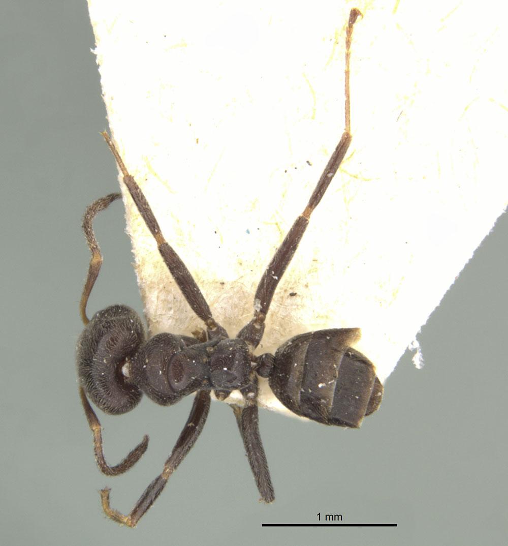 Image of Azteca luederwaldti