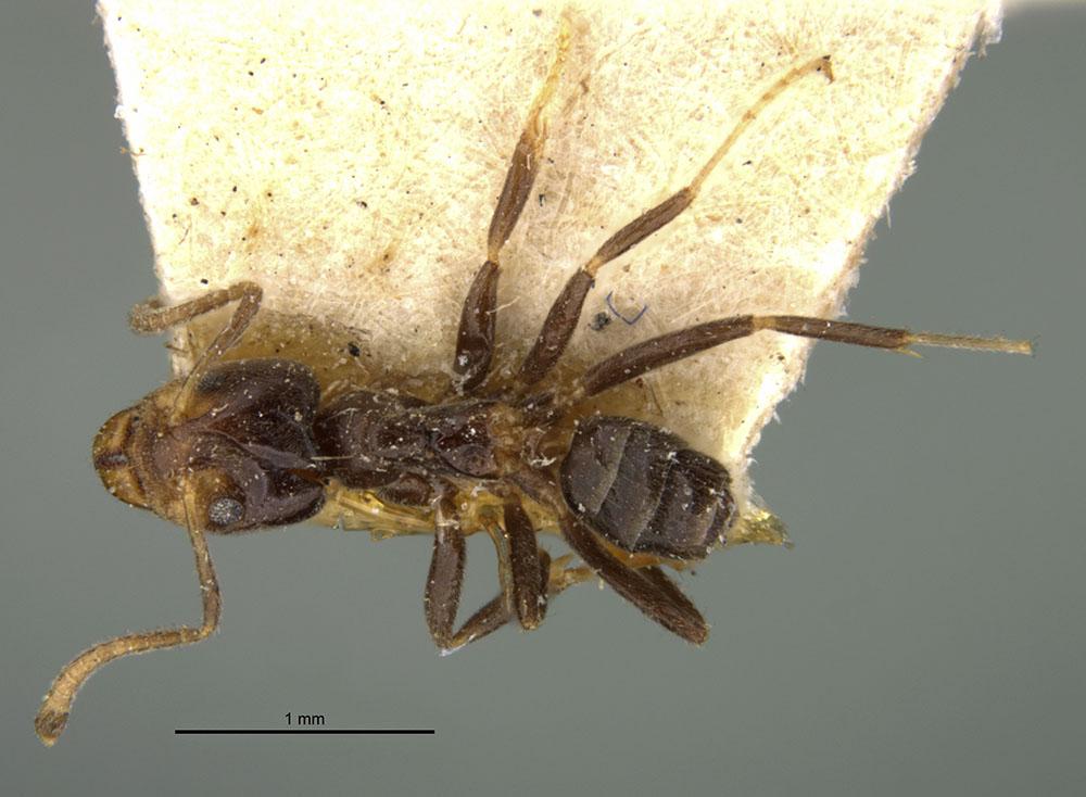 Image of Azteca olitrix