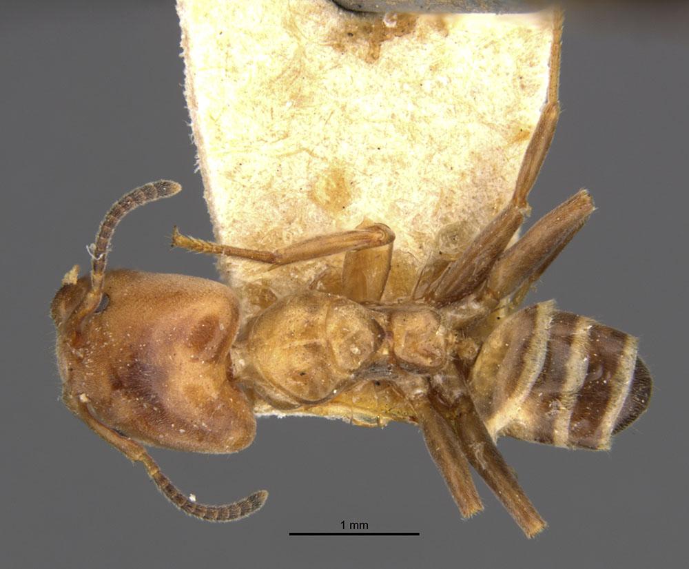 Image of Azteca polymorpha