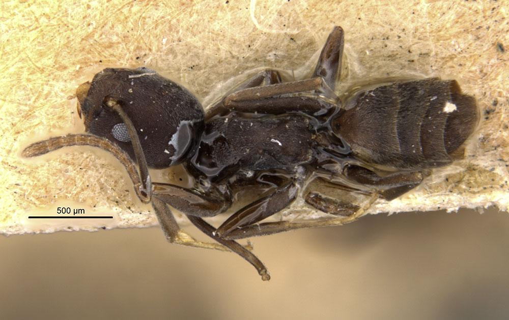 Image of Tapinoma opacum