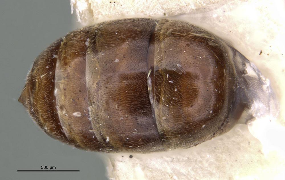 Image of Anochetus filicornis