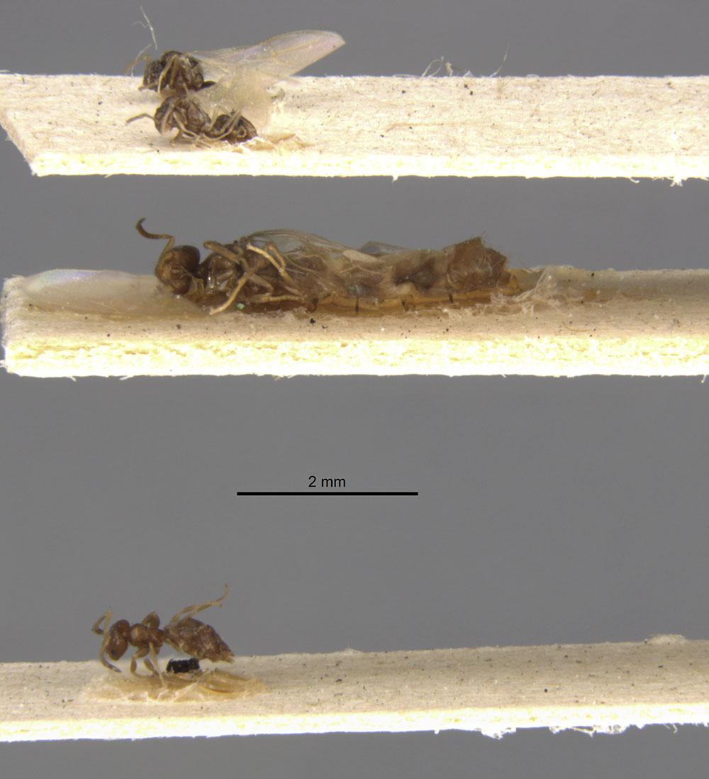 Image of Brachymyrmex brevicornis