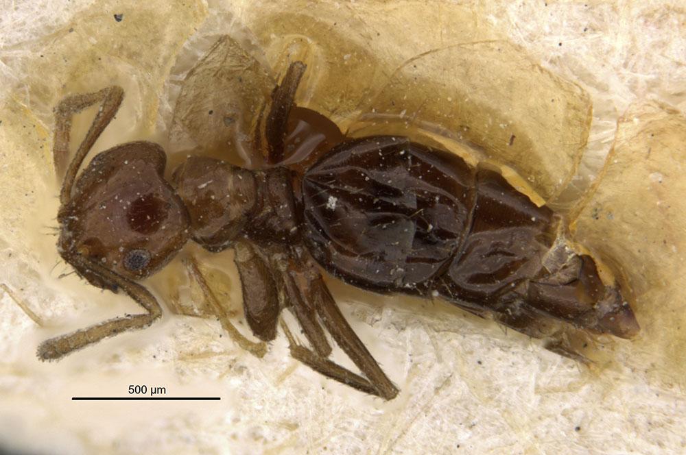 Image of Brachymyrmex degener