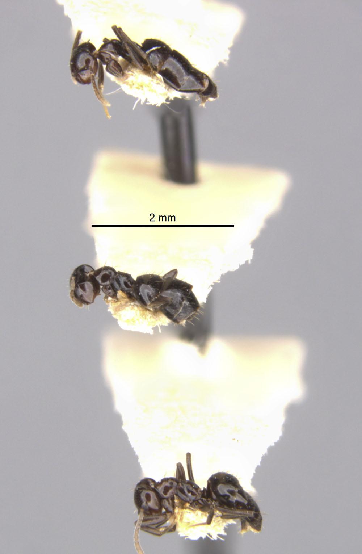Brachymyrmex gagates image